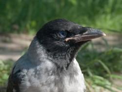 raven_2009_05_02.jpg: 800x601, 142k (30.05.2012 21:43)