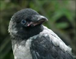 raven.jpg: 702x545, 82k (30.05.2012 21:44)