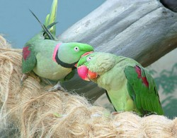 parrots1.jpg: 800x627, 131k (30.05.2012 21:52)