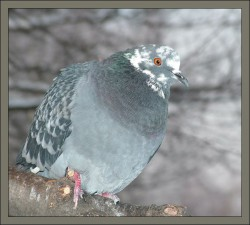 pigeon.jpg: 644x579, 55k (30.05.2012 21:45)