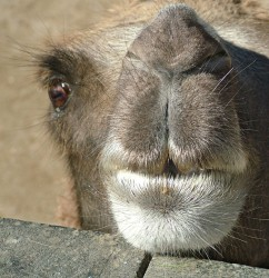 camel.jpg: 670x691, 155k (30.05.2012 21:50)
