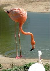 flamingo.jpg: 489x702, 100k (30.05.2012 21:45)