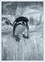 penguin1.jpg: 500x684, 78k (30.05.2012 21:33)