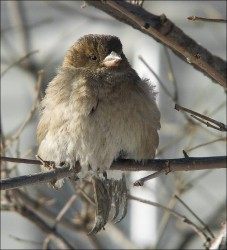 sparrow_2.jpg: 728x802, 131k (30.05.2012 21:51)