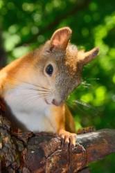 squirrel_2011_0455.jpg: 532x800, 112k (30.05.2012 21:34)
