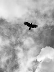 black_raven.jpg: 527x702, 49k (30.05.2012 22:15)