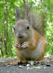 squirrel2105_2.jpg: 507x700, 88k (30.05.2012 21:36)